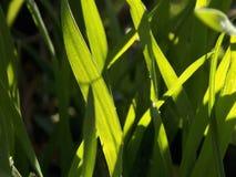 gras in de gloed van de zon stock fotografie