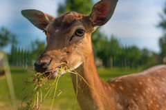 Gras de la consumición de los ciervos Fotografía de archivo libre de regalías