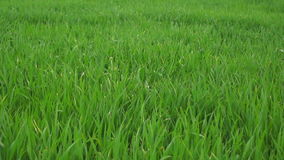 Gras in de Lente stock footage