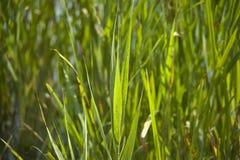 Gras in de vijver Royalty-vrije Stock Foto's