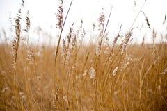Gras in de wind Royalty-vrije Stock Afbeeldingen