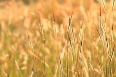 Gras in de wind Stock Foto