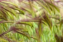 Gras in de wind Stock Afbeelding