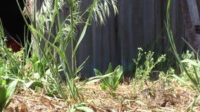 Gras in de wind dichtbij de oude houten muur stock videobeelden