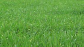 Gras in de Wind - Langzame Motie stock videobeelden