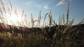 Gras in de wind over zonsondergang stock footage
