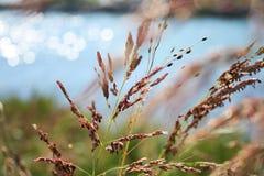 Gras in de zomerwind Stock Foto's