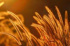 Gras in de zonsondergang Royalty-vrije Stock Afbeeldingen