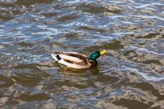 Grúas del baile del pato Fotos de archivo libres de regalías