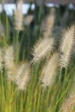 Gras in der Blüte stockbild