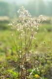 Gras der weißen Blume auf dem Gebiet Lizenzfreie Stockfotografie