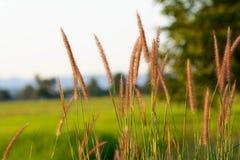 Gras des Feldes Stockbild