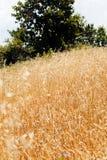 Gras des strahlenden Golds Stockfotografie