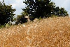 Gras des strahlenden Golds Lizenzfreie Stockbilder