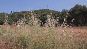 Gras die in de wind met rode papavers op een tarwegebied slingeren op achtergrond De Provence, Frankrijk stock video