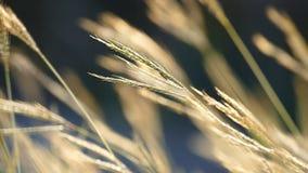 Gras die in de wind slingeren stock video