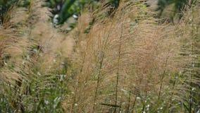 Gras die op de wind op de zomergebied golven, Thailand stock videobeelden