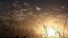 Gras die zich met de wind bij zonsondergang met de zon op de achtergrond met gezoemeffect bewegen stock videobeelden