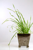 Gras in einem Potenziometer Stockfotografie