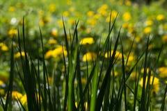 Gras in einer Löwenzahnwiese Stockfoto