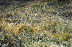 Gras eingefroren stockbild