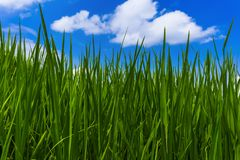 Gras en bewolkte hemel Royalty-vrije Stock Afbeelding
