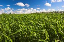 Gras en blauwe hemel Stock Afbeelding