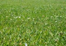 Gras en camomiles Royalty-vrije Stock Afbeeldingen