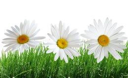 Gras en Daisy Stock Afbeeldingen