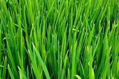 Gras en dauw Stock Foto's