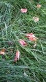 Gras en gevallen bloemblaadjes Stock Afbeelding