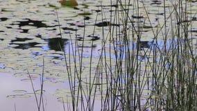 Gras en lilly stootkussens in de lente in het vreedzame noordwesten stock videobeelden