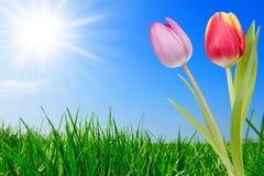 Gras en mooie tulpen Royalty-vrije Stock Foto's