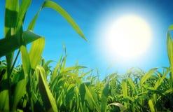 Gras en zon Stock Afbeelding