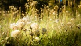 gras en zonlicht, Ochtend op het gebied Wildflowers bij zonsondergang Royalty-vrije Stock Foto