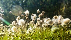 gras en zonlicht, Ochtend op het gebied Wildflowers bij zonsondergang Stock Foto's