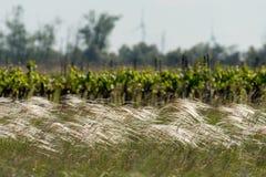 Gras för ett ensamt träd, vingård- och fjäder arkivfoton