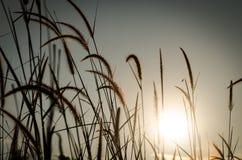Gras-Federn an der Dämmerung lizenzfreies stockfoto