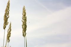 Gras gegen den Himmel Lizenzfreies Stockfoto