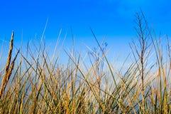 Gras gegen einen blauen Himmel Stockfoto