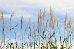 Gras gegen Himmel. Stockfotografie