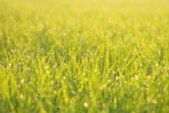 Gras groen in de ochtend royalty-vrije stock afbeelding