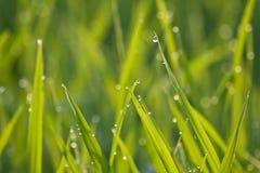 Gras groen in de ochtend royalty-vrije stock foto's