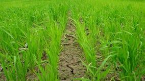 Gras groene rijen stock footage