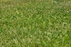 Gras groene textuur stock foto