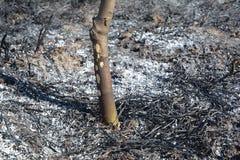 Gras het branden schade op de fruitboom Het brandende gras geeft meer stikstofverontreiniging vrij dan brandhout stock afbeelding
