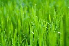 Gras, Hintergrund, Grün, Natur, Frühling, Rasen, Sommer, Wachstum, Morgen Lizenzfreie Stockbilder
