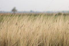 Gras im Gras archivierte, Trockenzeit in der Landschaft Thailand stockbild