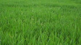 Gras im Frühjahr auf Windy Day stock video