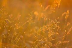 Gras im Herbst im Licht des Sonnenuntergangs Stockfoto